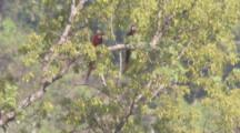 Parrots, Possibly Red And Green Macaws, Rest In Trees