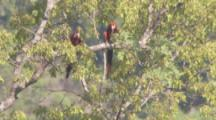 Parrots, Possibly Red And Green Macaws, Rest N Trees Then Fly Over Forest