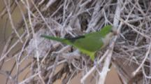 Monk Parakeet Builds Nest Of Bare Branches