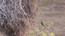 Monk Parakeets Build Nest Of Bare Branches, One Carries Large Twig