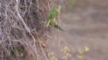 Monk Parakeets Build Nest Of Bare Branches, One Peeks From Nest