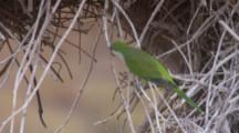 Monk Parakeet Outside Nest In Bare Branches