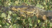 Caiman rests among aquatic plants