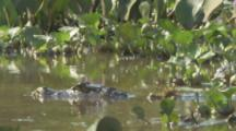 Caiman launches out of water,possibly to feed