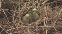 Three Monk Parakeets In Nest Of Dry Twigs