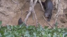 Giant Otters Near Den,One Carries Baby Out In Mouth