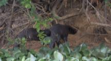 Giant Otters Near Den, One Enters