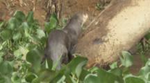 Giant Otters Play,Swim In River Among Aquatic Plants
