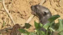 Giant Otters Enter Burrow, Den