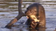 Giant Otter Feeds On Fish In River