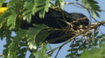 Yellow-Rumped Cacique Bird Pulls Off Twigs To Build Nest