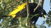 Yellow-rumped Cacique Bird flutters wings,vocalizes