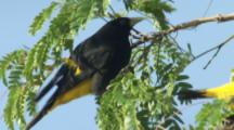 Yellow-Rumped Cacique Bird Pulls Off Twigs To Build Nest, Mate Nearby