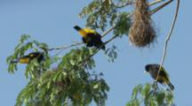 Yellow-Rumped Cacique Birds Near Hanging Nest,one displays