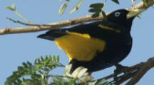 Yellow-rumped Cacique Bird Near Hanging Nest