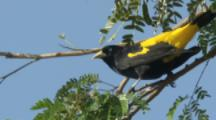 Yellow-rumped Cacique Bird perched,flies away