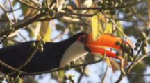 Toco Toucan Feeds In Tree