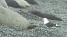 Kelp Gull On Beach With Elephant Seals,Feeds On Placenta