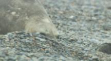 Southern Elephant Seals On Patagonia Beach,Barks At Gulls feeding on placenta