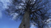 Damaged Tree Near Beaver Lodge
