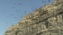 Burrowing Parrots fly to and from cliff cliff