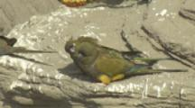 Burrowing Parrot preens mate On Cliff