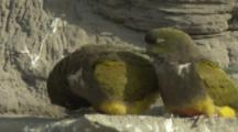 Pair of Burrowing Parrots On Cliff