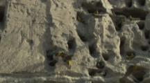 Burrowing Parrots at nest openings On Cliff
