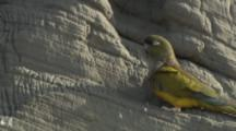 Burrowing Parrot On Cliff