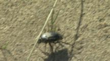 Beetle Or Weevil crawls on Sand
