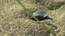 Beetle Or Weevil digs,buries itself In Sand