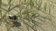 Beetle Or Weevil crawls on Sand