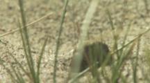 Beetle Or Weevil In Sand