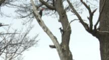 Pair Of Magellanic Woodpeckers On Tree Trunk, Third One (Juvenile?) Joins
