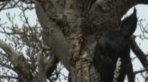 Female Magellanic Woodpecker On Tree Trunk,flies away