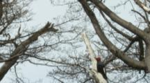 Pair Of Magellanic Woodpeckers On Tree Trunk,fly away