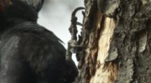 Female Magellanic Woodpecker On Tree Trunk,close up of feet,claws