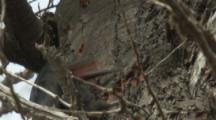 Female Magellanic Woodpecker Feeds On Tree Trunk,soon in to bill,trunk