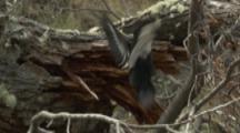 Female Magellanic Woodpecker Feeds On Tree Trunk