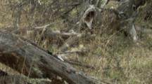 Female Magellanic Woodpeckers Feed On Downed Tree