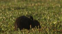 Capybara Feeds On Vegetation,Bird Rides On Back