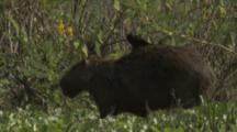 Capybara Walks Through Vegetation,Bird Rides On Back