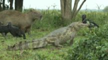 Spectacled Caiman With Black Vultures And Capybara