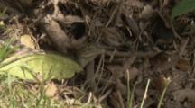 Spectacled Caiman Hatchling In Leaf Litter