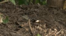 Spectacled Caiman Hatchlings In leaf litter