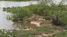 Mother Capybara with young at river bank