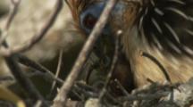Nesting Hoatzin feeds Chicks