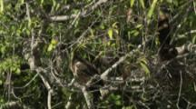Nesting Hoatzin With Chicks