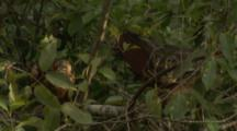 Hoatzin in tree,Possibly display