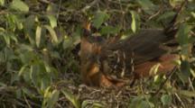 Hoatzin in Nest